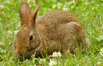 花园里的兔子