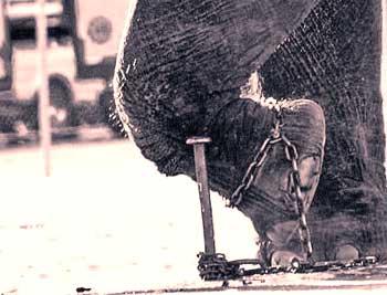 被锁住的大象