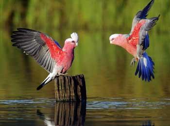 两只美丽的鹦鹉